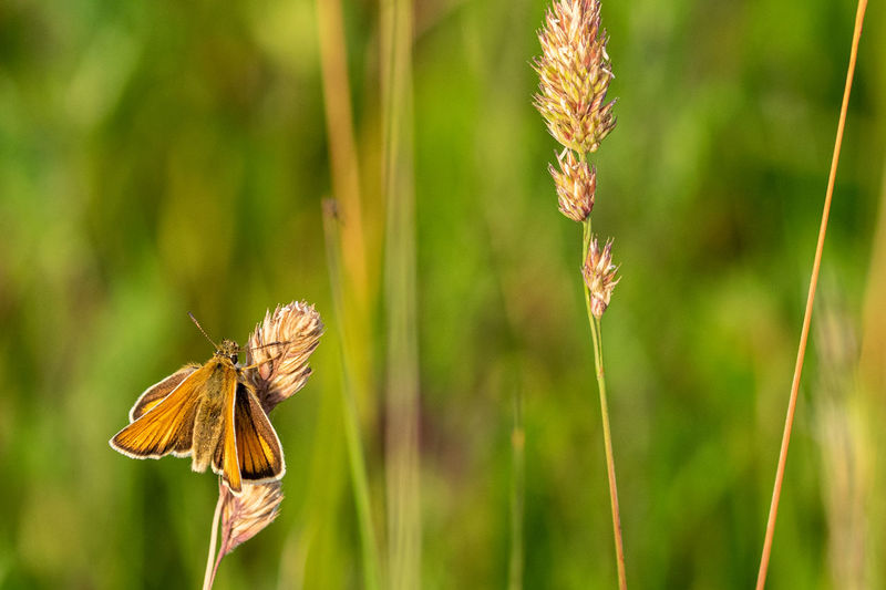 Essex skipper butterfly, thymelicus lineola, ends of antenna, black in colour, resting on wild grass