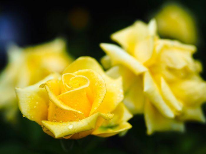 私がモテるからってヤキモチ妬いちゃダメよ😜 Rose - Flower Roses Roses🌹 Rose Garden Flower Yellow Petal Freshness Flower Head Close-up Fragility No People Blooming Outdoors Rainy Day Raindrops Raindrops On Flowers Olympus OM-D E-M5 Mk.II