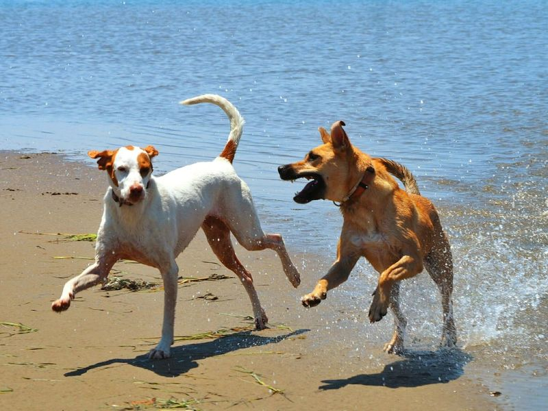 Lya playing with a new friend Dogs Animals Beach Playing Dogs Ilovemydog Pets EyeEm Best Shots Capture The Moment My Best Photo 2015 Adventure Buddies Learn & Shoot: Balancing Elements Photography In Motion The Essence Of Summer Two Is Better Than One TCPM Pet Portraits