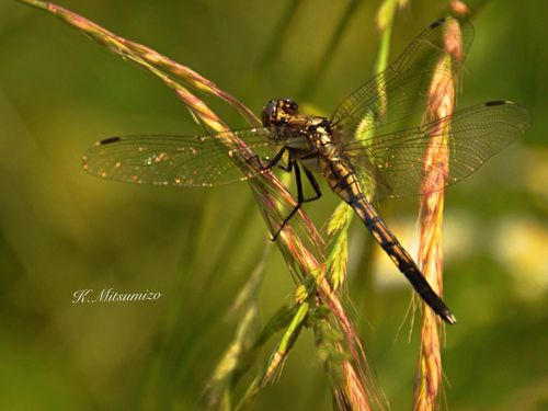 Tadaa Community Insect 昆虫 Dragonfly トンボ