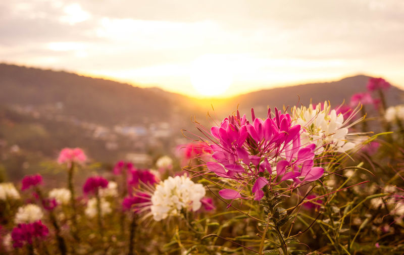 Close-up of pink flowering plants on field during sunset