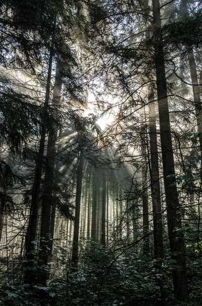 Forest Lattengebirge Morning Sun Sunbeam Tranquil Scene Tree Tree Trunk WoodLand