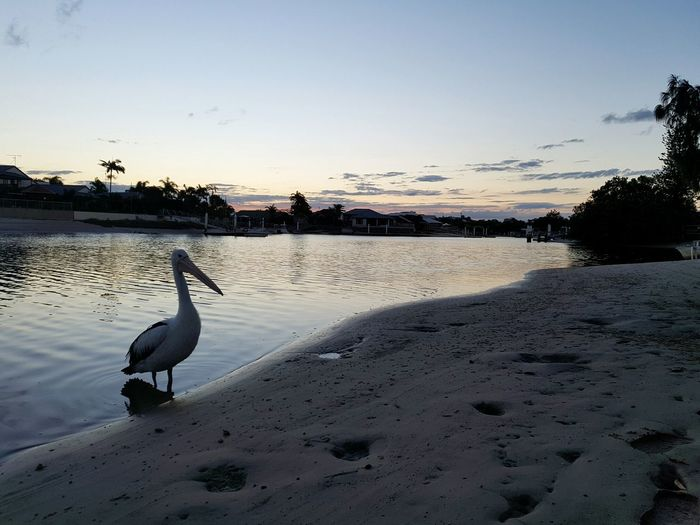 Pelican Birds Bird Animal Wildlife Sunset Outdoors Beauty In Nature Sky Water Nature Pelican Sunsets Sunsetphotographs Queensland Australia Tranquility