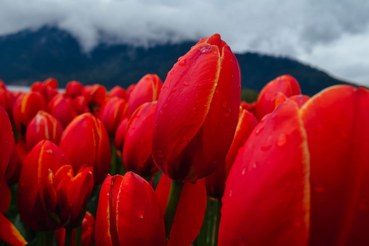 Red tulips in