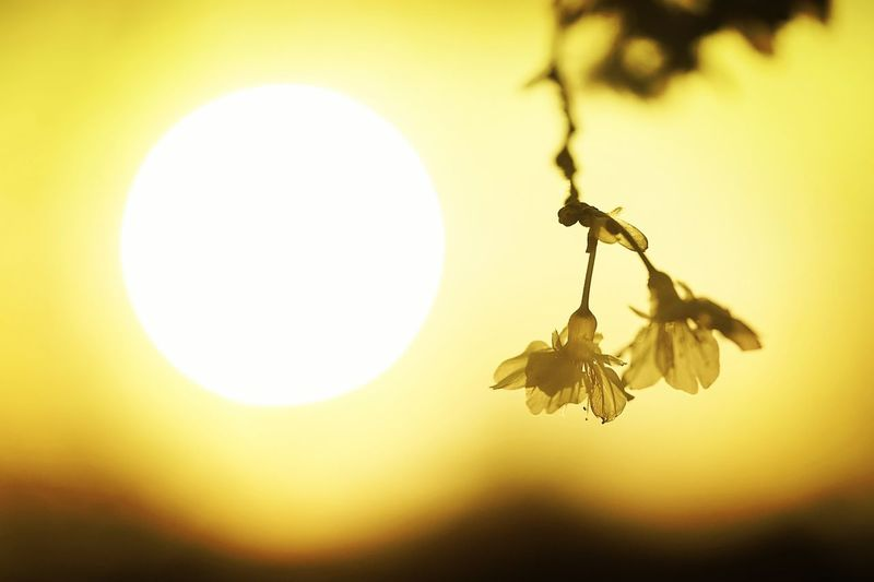 福爾摩沙櫻開展於落日之際