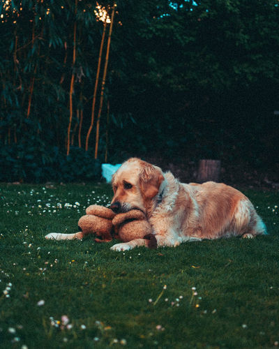 Dog resting on a field with toy in mouth