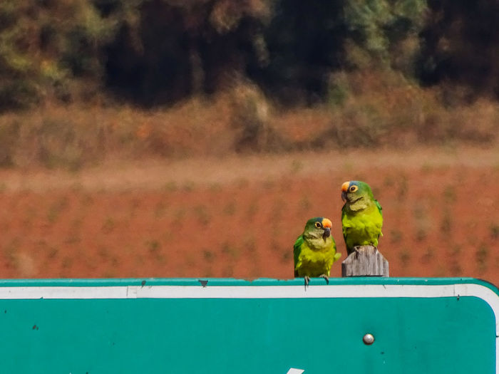 Two parrot perching on a parrot