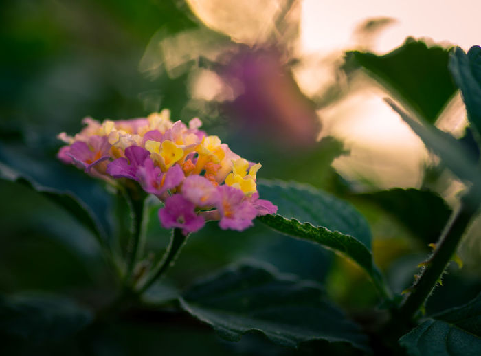Sunset Bokeh Flower Flower Head Leaf Pink Color Multi Colored Close-up Plant Flowering Plant Botanical Garden Tropical Flower Blossom Botany Magenta Cherry Blossom Plant Part In Bloom Wildflower Plant Life