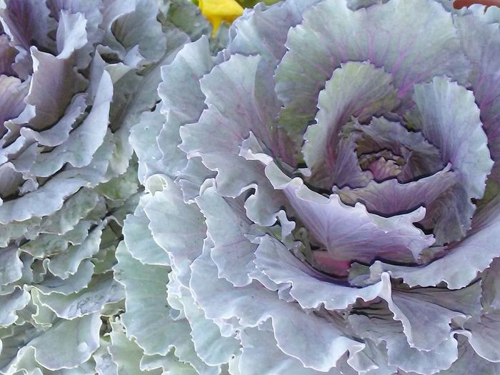 cabbage Cabbage