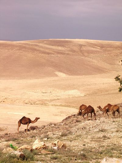 Group Of Camels Grazing In The Desert