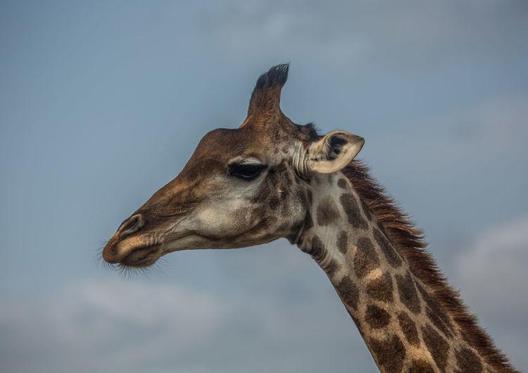 Close-up of a giraffe