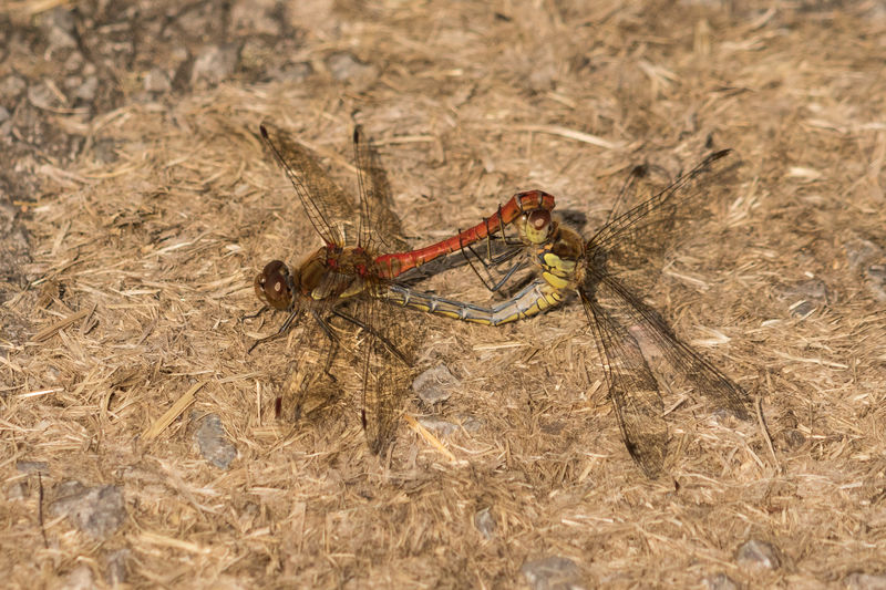 Mating Common Darter dragonflies (Sympetrum striolatum) Dragonfly Animal Themes Animal Wildlife Animals In The Wild Close-up Common Darter Dragonfly Day Insect Mating Pair Of Insects Nature No People Outdoors