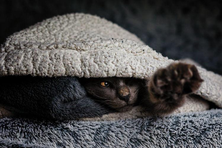Catch me Norvegianforrestcat Pets Portrait Black Background Black Color Close-up Domestic Cat Cat Feline Kitten Yellow Eyes Maine Coon Cat Animal Eye