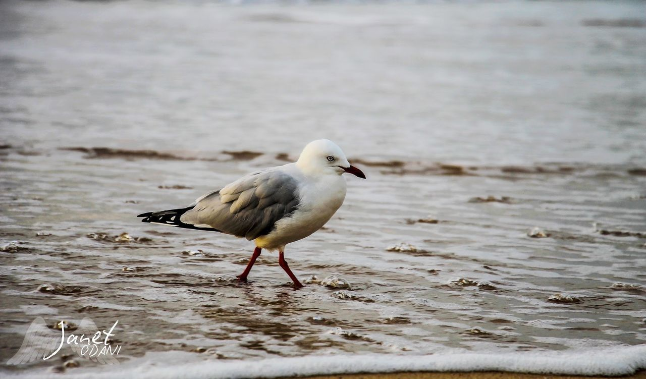 animals in the wild, animal, animal wildlife, animal themes, water, one animal, vertebrate, bird, sea, beach, land, day, no people, sand, nature, focus on foreground, seagull, selective focus, beauty in nature