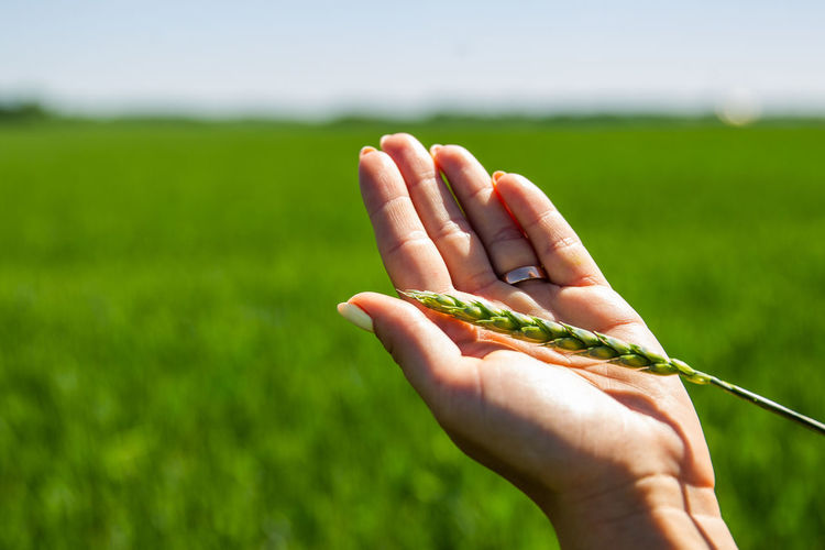 Close-up of hand holding wheat on agricultural field
