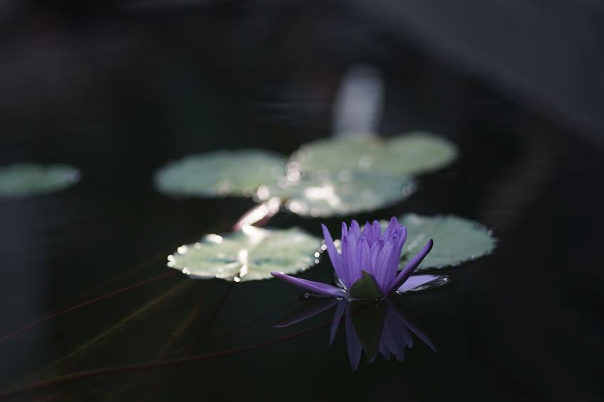 Reflection Masako201801 Nofilternoedit SONY A7ii 105mm Micronikkor Micronikkor105mmf2.8 Glasshouse JindaiBotanicalGarden Shine Lambency Tremor Reflection Sunlight Floating On Water Purple Flower Water Lily Flower Fragility Petal Beauty In Nature Nature Flower Head Growth Water Plant Blooming