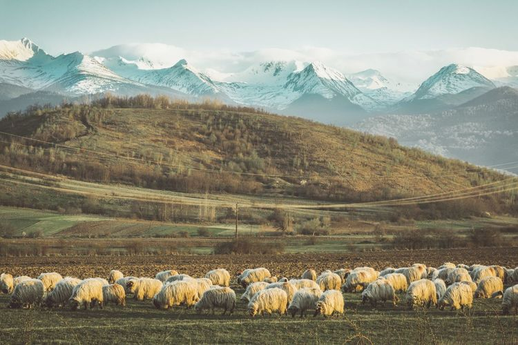 Mountain and sheeps
