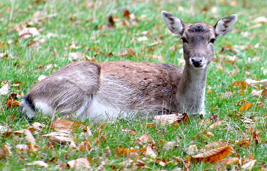 Animal Animal Themes Animal Wildlife Animals In The Wild Day Deer Field Grass Holkham Holkham Hall Leaves Mammal Nature No People One Animal Outdoors Wildlife