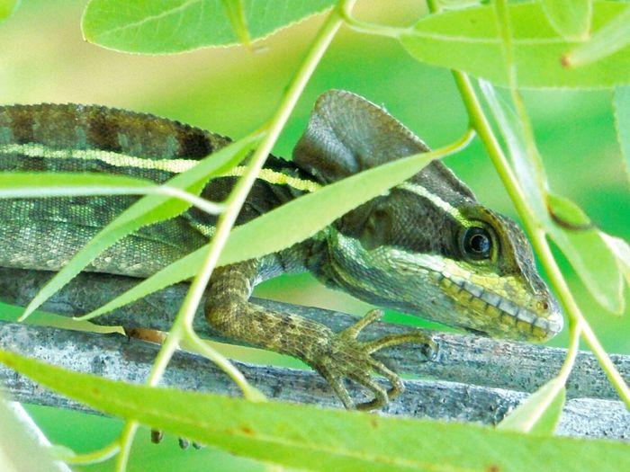 Iguanas Iguana