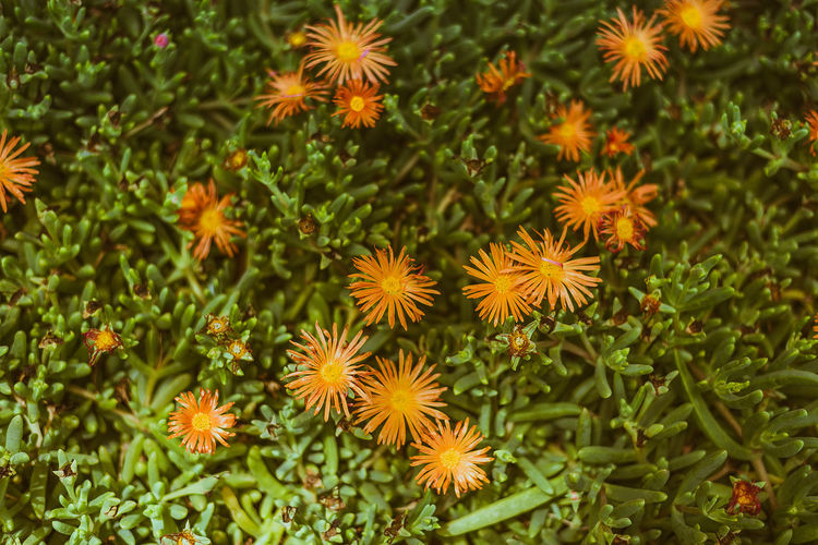 Orange Flowers on the island of Sal in Cape Verde, Africa Green Orange Africa Beauty In Nature Botanical Garden Close-up Day Flower Flower Head Fragility Green Color Growth High Angle View Nature No People Outdoors Plant