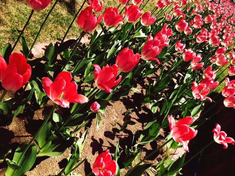 Tulips Tulips🌷 Tulips Flowers Red Beauty In Nature Outdoors Walking Around Odori Park Sapporo-shi