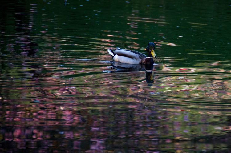 Animal Beauty In Nature Cherry Blossi City Day Duck Evening Kelvingrove Lake Mallard Mallard Duck Nature No People Outdoors Park Reflection Rippled Swimming Tranquility Water Water Bird Nature's Diversities The Great Outdoors - 2016 EyeEm Awards