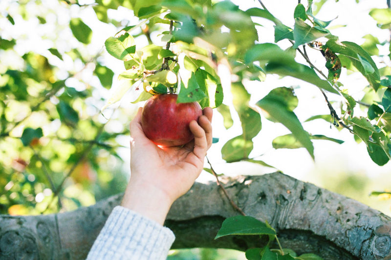 Cropped image of person holding fruit on tree