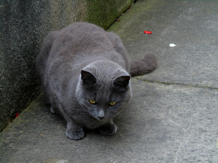 Close-up of chartreux cat on footpath