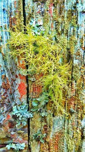 Lichens Lichen On A Tree Lichen Beauty Moss Moss Covered Tree Moss On Trees Tree Covered Lichen Beauty In Nature Moss And Lichen Brightly Colored Still Life Still Life Photography Old Log Rotten Tree Textures And Surfaces Surfaces And Textures Macro Terquoise Diversity In Nature Nature_collection Natures Diversities Nature Nature Photography Micro Macro Photography