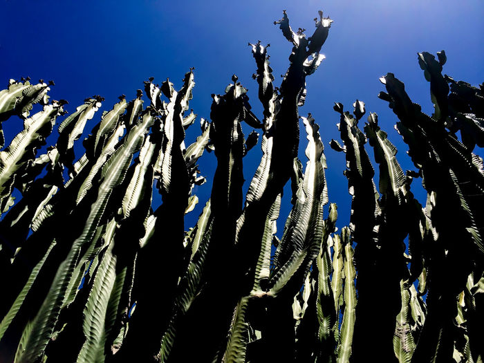 Low Angle View Of Cacti Against Clear Blue Sky