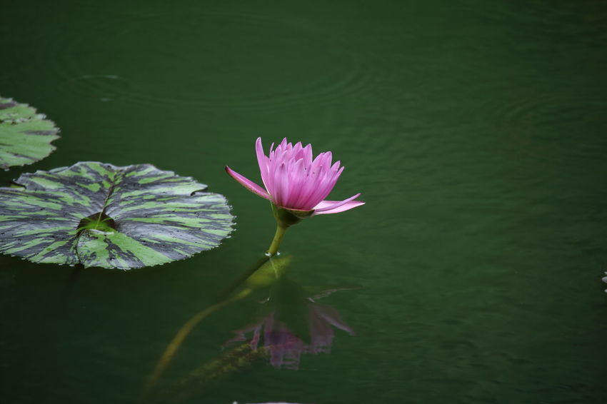 Waterlily Waterlilypond Waterlilyphotography Waterlilyreflection Fine Art Flower Flowers, Nature And Beauty Pink Flower Pink Water Lily in USA Still Life Beautiful Flowers