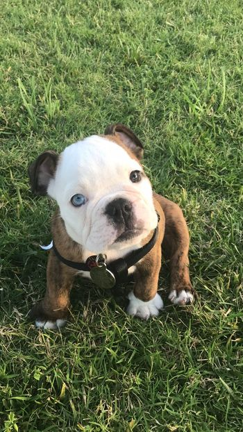 EyeEm Selects Animal Themes Dog Grass Pets Domestic Animals One Animal Outdoors Day Field Green Color Grass Area Looking At Camera Sitting Nature English Bulldog Puppy Pet Collar Lost In The Landscape