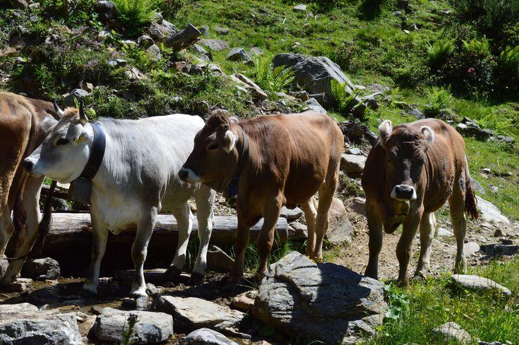 Alto Adige Südtirol South Tyrol Italia Italien Italy Animal Themes Mammal Animal Group Of Animals Vertebrate Plant Tree Domestic Animals Nature No People Pets Domestic Day Livestock Animal Wildlife Sunlight Land Medium Group Of Animals Growth Animals In The Wild