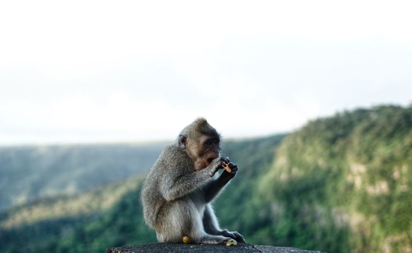 Monkey sitting mountain background