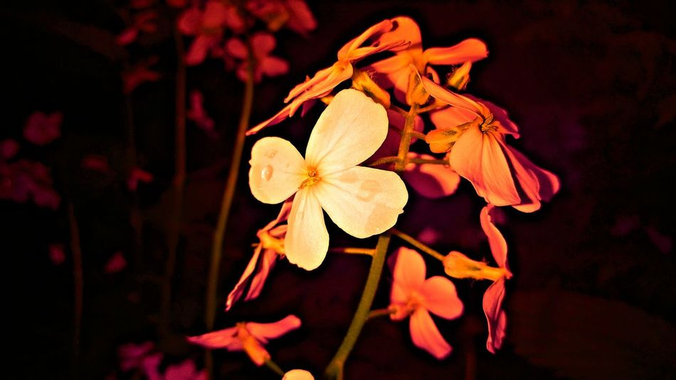 Pink Flowers Beauty In Nature Blooming Close-up Flower Flower Head Focus On Foreground Fragility Freshness Growth Nature Night Outdoors Petal Plant
