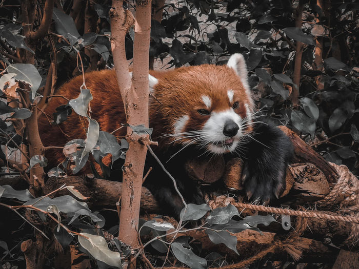 Portrait of red panda on dry leaves