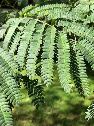 🌱 Growth Green Color Plant Fern Nature No People Day Beauty In Nature Leaf Plant Part High Angle View Close-up Outdoors Pattern Tranquility Sunlight Tree Full Frame Natural Pattern Leaves 17.62°