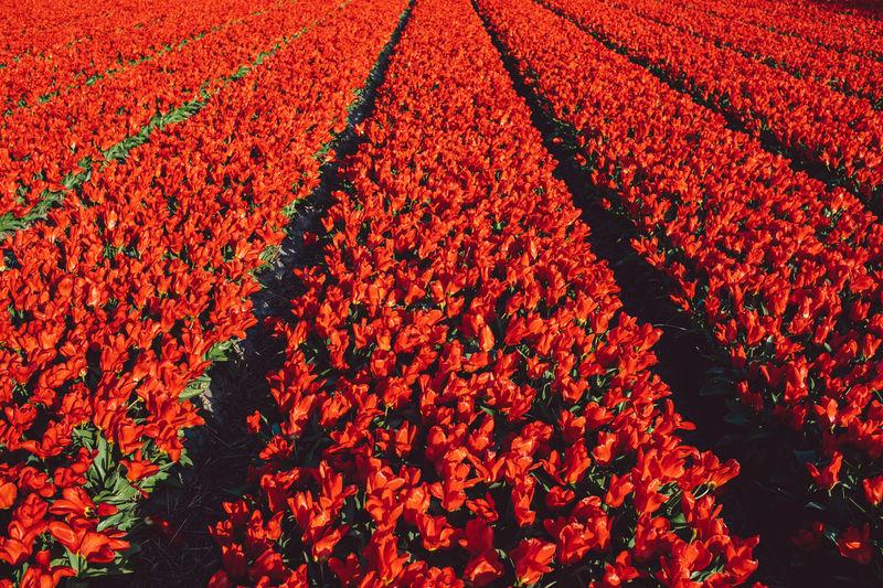 Full frame shot of red poppy flowers in field