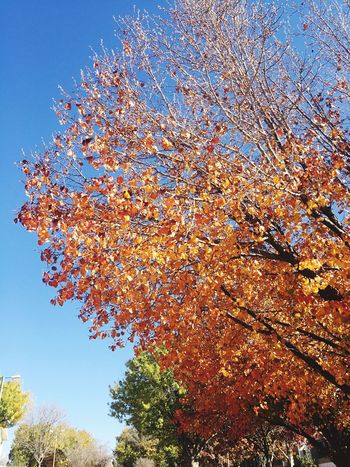 Campus tree losing leaves. Fall Beauty