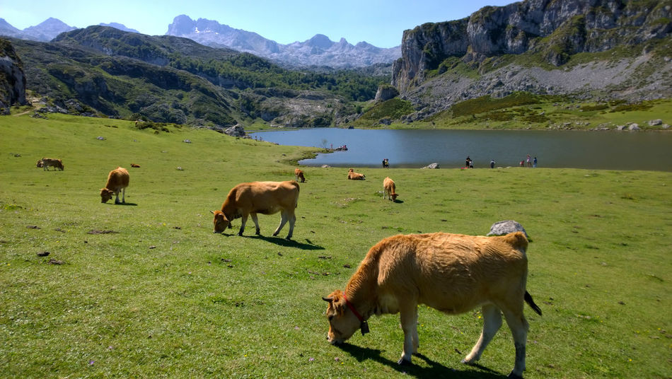 View of some cows near Lake Ercina in Lakes of Covadonga, Asturias - Spain Animal Animal Themes Asturias Cattle Covadonga Cow Cows Domestic Animals Ercina Farm Animal Grass Grazing Green Color Lago Ercina Lagos De Covadonga Lake Lakes  Landscape Mammal Mountain Nature Outdoors Pasture Scenics Water