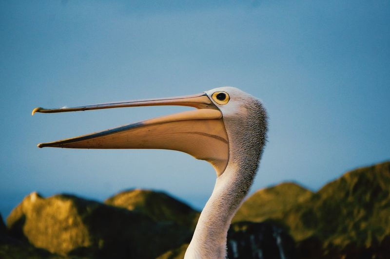 A pelican side shot with it's beak open with bright colors.