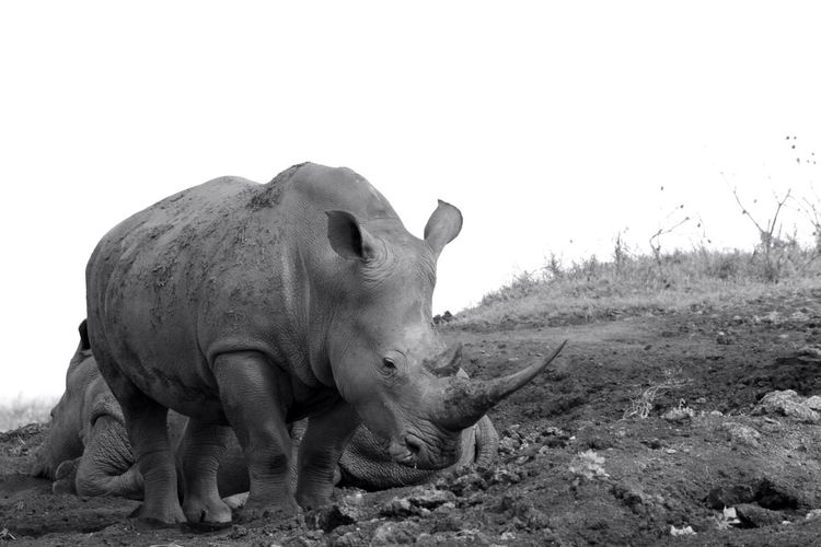 Side View Of Rhinoceros Against Clear Sky