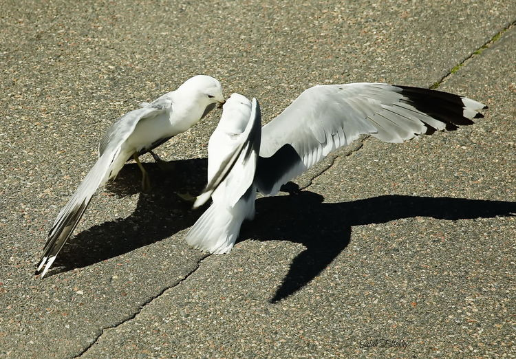 Animal Themes Animal Wildlife Animals In The Wild Bird Day Flying Full Length Motion Nature No People One Animal Outdoors Shadow Spread Wings Sunlight Swan