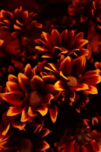 Like Fire Fire Flower Nature Beautiful Colors Dark Picture Flowers#nature#hangingout#takingphotos#colors#hello World#flora#fauna Red Yellow