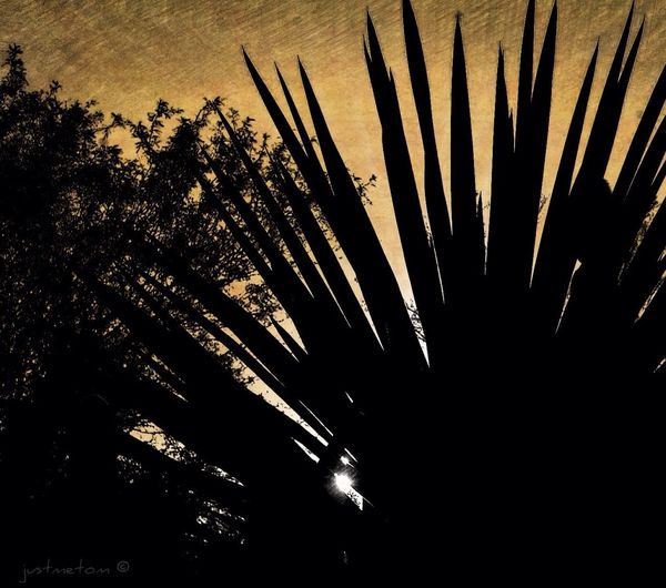 Good Morning ... a bit of a Sunrise Silhouette taken at the Desert Botanical Garden