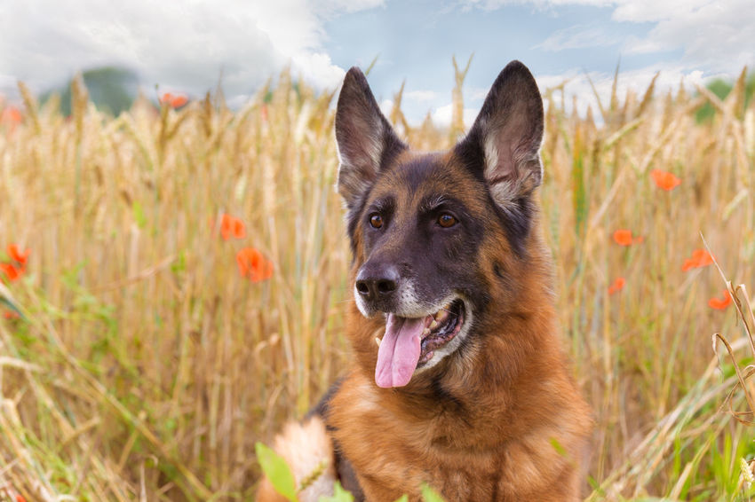 Dog Pets German Shepherd Ear Animal Portrait Friendship Happiness Looking At Camera Alertness One Animal Outdoors Mammal Grass Day Domestic Animals Obedience Nature Sky Reliability