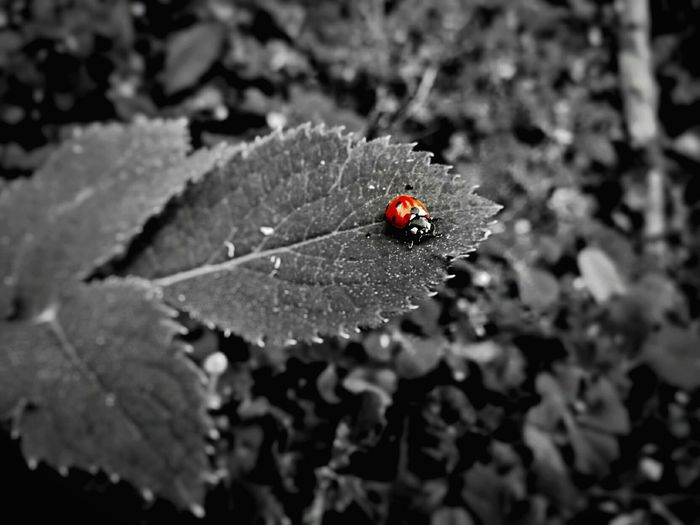 Ladybug Leaf Red Tiny Insect Full Length Close-up Animals Mating Animal Behavior Fly Butterfly - Insect Dragonfly Beetle Animal Antenna Animal Wing Housefly