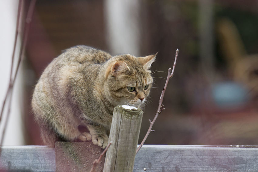 Mammal Animal Themes Animal Cat Feline One Animal Pets Domestic Cat Domestic Domestic Animals Focus On Foreground Vertebrate No People Day Animal Wildlife Whisker Outdoors Relaxation Wood - Material Looking Animal Head  Tabby
