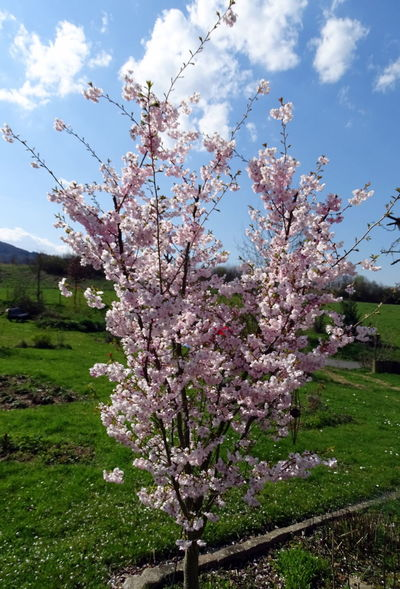 Almond Tree Beauty In Nature Blossom Branch Cherry Blossom Cherry Tree Close-up Cloud - Sky Day Flower Flower Head Fragility Freshness Growth Millennial Pink Nature No People Outdoors Pink Color Scenics Sky Springtime Tree