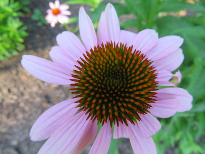 Close-up of daisy blooming outdoors
